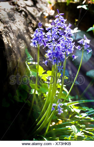 Bluebells close up with sunlight streaming through - Stock Photo
