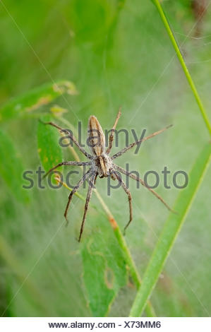 Nursery Web Spider (Pisaura mirabilis), female guarding juveniles under a cocoon, North Rhine-Westphalia, Germany - Stock Photo
