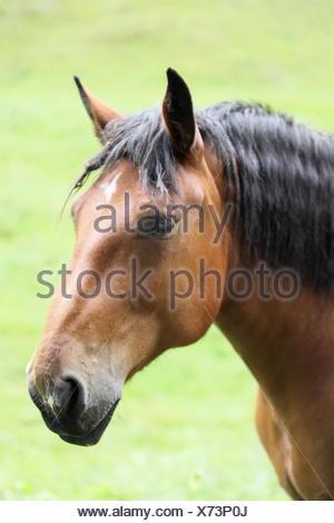 brown horse portrait - Stock Photo