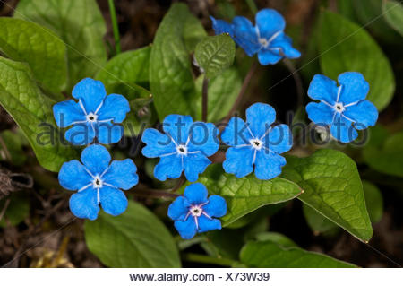 Blue-Eyed Mary or Navelwort (Omphalodes verna), Baden-Württemberg, Germany - Stock Photo