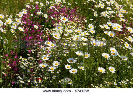 Oxeye Daisies (Leucanthemum vulgare), Red Campion (Silene dioica) and Scented Mayweed or German Chamomile (Matricaria - Stock Photo