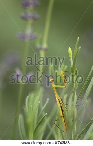 Praying mantis, Mantis religiosa, waiting for prey on lavender, Lavandula angustifolia. - Stock Photo