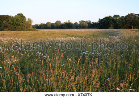View pasture long grass Ox-eye Daisy Leucanthemum vulgare flowering commonland reserve habitat dawn Mellis Common Mellis - Stock Photo