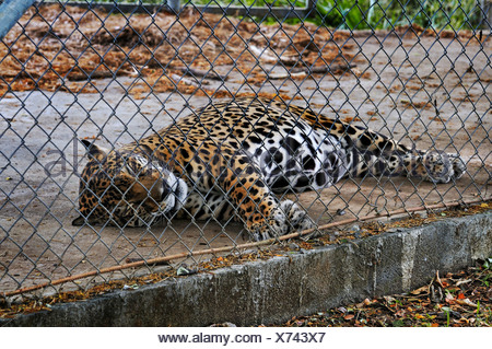 Jaguar (Panthera onca) behind wire netting, Las Pumas, animal rescue center, province of Guanacaste, Costa Rica, Central America - Stock Photo