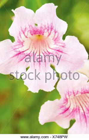 Streptocarpus, Cape primrose - Stock Photo