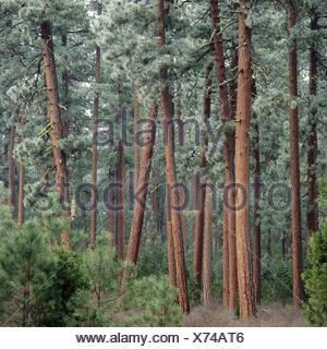 Frost on Ponderosa Pines. Metolius Basin Sisters. Oregon, USA - Stock Photo