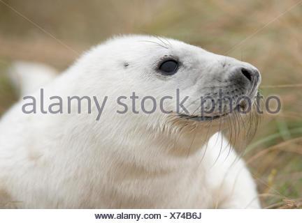 Grey Seal Halichoerus grypus Donna Nook UK - Stock Photo