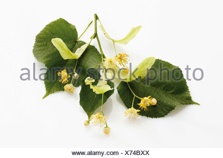 Lime or Linden (Tilia) leaves and flowers - Stock Photo