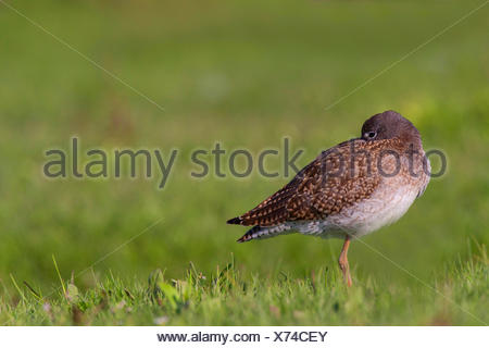 common redshank (Tringa totanus), in eclipse plumage in a meadow, rest and sleep, Germany, Schleswig-Holstein - Stock Photo