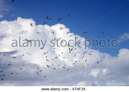 frigate bird silhouette backlight breeding season sky flying - Stock Photo