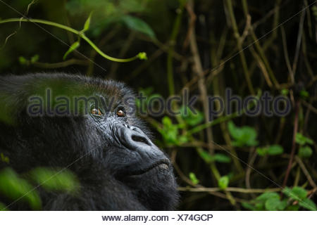 An elderly mountain gorilla in Volcanoes National Park. - Stock Photo