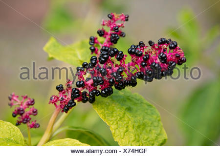 Red-ink Plant or Indian Pokeweed (Phytolacca acinosa), infructescence, Thuringia, Germany - Stock Photo
