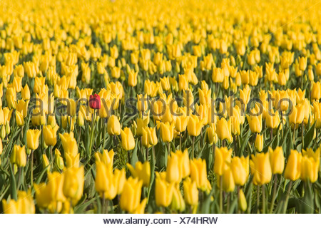 Red tulip in yellow tulips - Stock Photo