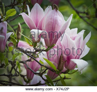 pink Magnolia flowers on a branch closeup - Stock Photo