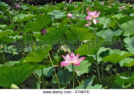 Nelumbo, lotus, water flower - Stock Photo