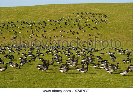 brent goose (Branta bernicla), flock resting on a dike, Netherlands, Texel - Stock Photo