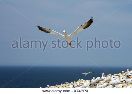 A northern gannet takes flight over a colony of nesting gannets on cliff edge. - Stock Photo