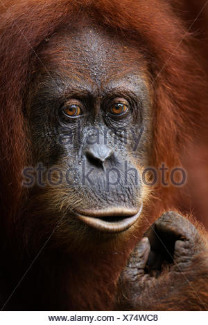 Sumatran orangutan (Pongo abelii) female 'Sandra' aged 22 years portrait. Gunung Leuser National Park, Sumatra, Indonesia. Apr 2012. Rehabilitated and released (or descended from those which were released) between 1973 and 1995. - Stock Photo