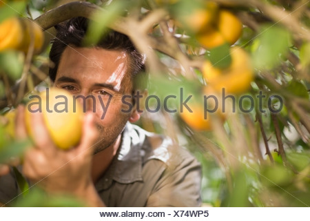Man picking orange - Stock Photo