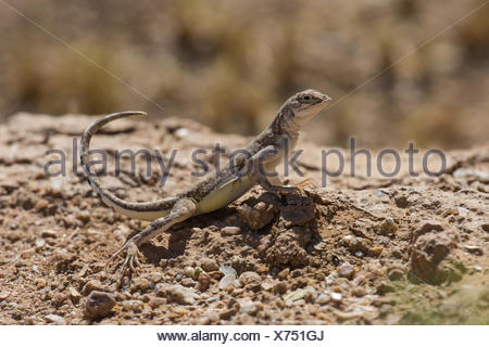 Zebratail lizard, Zebra-tailed lizard (Callisaurus draconoides), stretching the tail upwards, USA, Arizona, Sonoran - Stock Photo