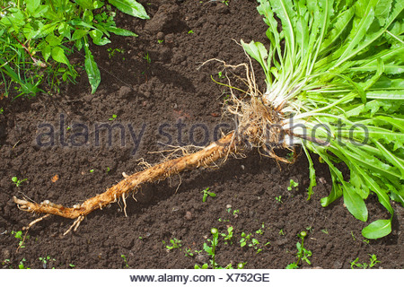blue sailors, common chicory, wild succory (Cichorium intybus), cultivated chicory dug out, Germany - Stock Photo