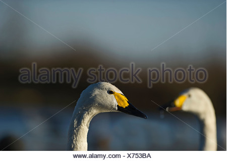 Bewick's Swans Cynus columbianus The Fens Norfolk winter - Stock Photo