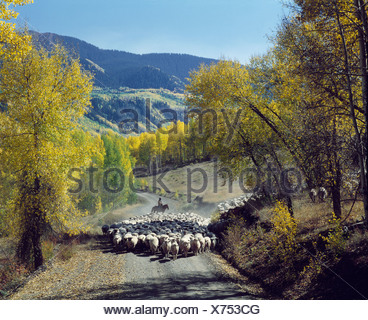 FLOCK OF SHEEP WALKING ON MOUNTAIN ROAD IN FALL / COLORADO - Stock Photo