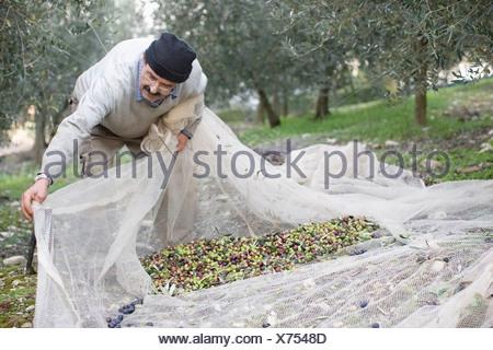 Old man harvesting olives - Stock Photo