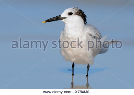 Sandwich Tern (Sterna sandvicensis, Thalasseus sandvicensis) in winter plumage, Florida, United States - Stock Photo