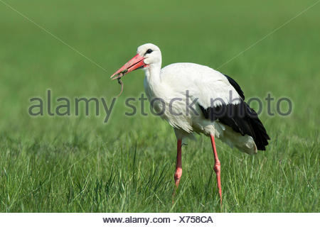 White Stork (Ciconia ciconia) feeding on prey, Burgenland, Austria - Stock Photo