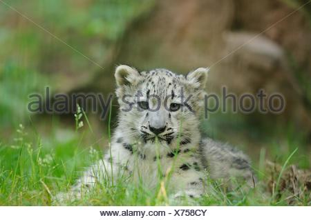 young snow leopard - Stock Photo