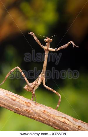 Texas Unicorn Mantis (Phyllovates chlorophaea), on a branch - Stock Photo