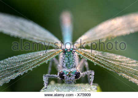 Banded demoiselle (Calopteryx splendens) covered in dew, Guxhagen, Hesse, Germany, Europe - Stock Photo