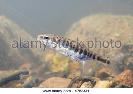 adult minnow - Stock Photo