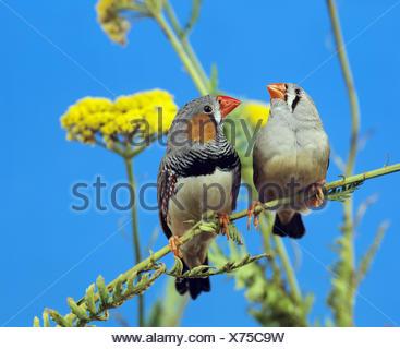 Zebra Finch, taeniopygia guttata, Pair on Branch - Stock Photo