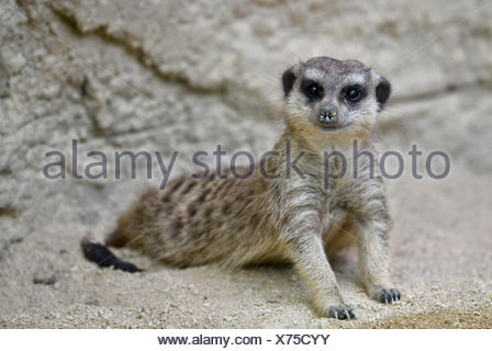 Meerkat (Suricata suricatta), young animal, curious, captive - Stock Photo