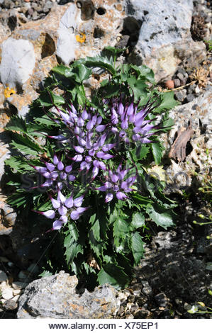 Tufted horned rampion - Stock Photo