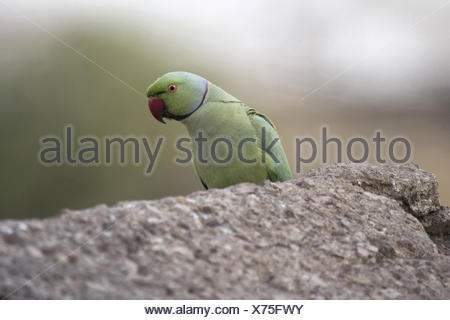 Rose Ringed Parakeet, Psittacula krameri. Kanha Tiger Reserve, Madhya Pradesh, India - Stock Photo
