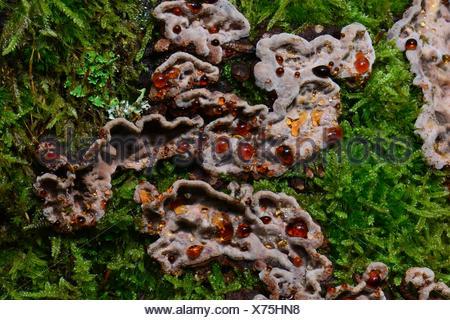 Bleeding Tooth Fungus (Hydnellum peckii). Fruiting body, bleeding bright red juice, growing through fallen pine needles, - Stock Photo