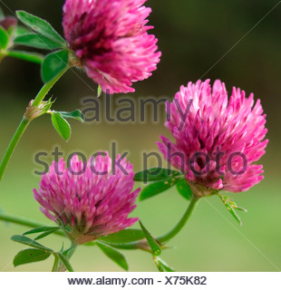 Close-up of clover flowers against blurred background - Stock Photo