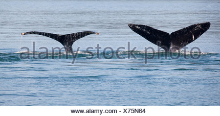 Humpback whales (Megaptera novaeangliae) breaching in the sea, Cross Sound, Elfin Cove, Alexander Archipelago, Alaska, USA - Stock Photo
