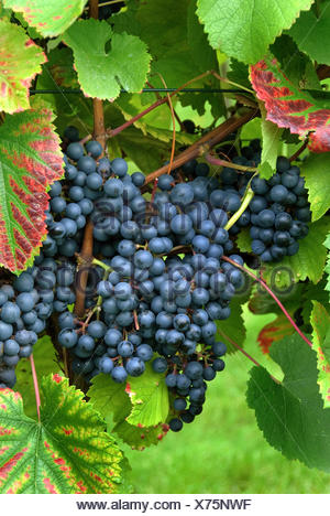 grape-vine, vine (Vitis vinifera 'Regent', Vitis vinifera Regent), cultivar Regent - Stock Photo