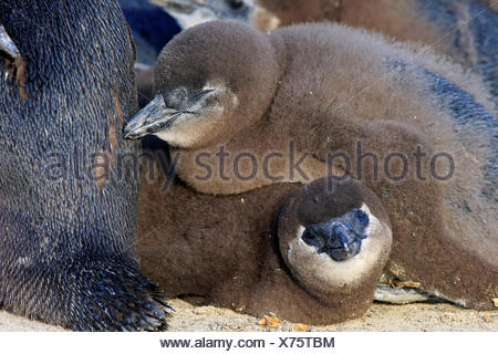 Jackass Penguin, youngs, Boulders Beach, Simonstown, Western Cape, South Africa, Africa / (Spheniscus demersus) - Stock Photo