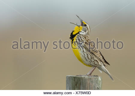 Western Meadowlark, Sturnella neglecta, singing, Saskatchewan, Canada - Stock Photo