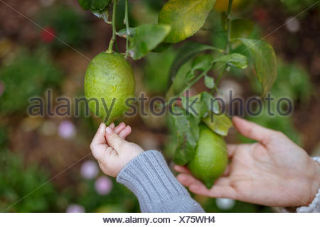 Hands of mother and daughter touching lemons on tree - Stock Photo