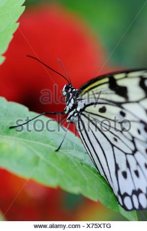 Hibiscus, Hibiscus, Red subject, - Stock Photo