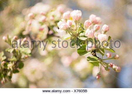 Apple Tree branch with white flowers and pink flower buds - Stock Photo