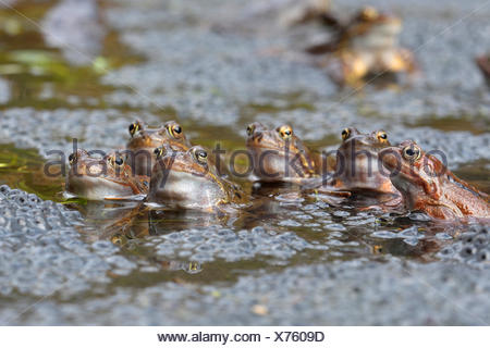 common frog, grass frog (Rana temporaria), sitting in water with eggs, Austria, Burgenland, Neusiedler See National Park - Stock Photo