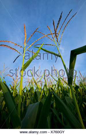 Agriculture - Sideview of a stand of mid growth fully tasseled grain corn / near Northland, Minnesota, USA. - Stock Photo