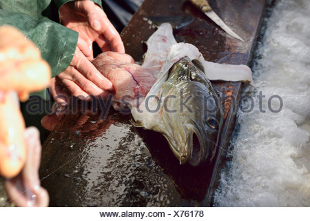 Wismar, man takes from cod - Stock Photo
